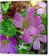 Purple Wildflowers Macro 3 Acrylic Print