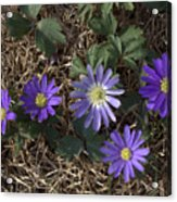 Purple Yard Flowers Acrylic Print