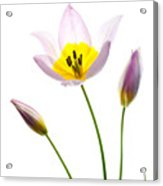 Purple Yellow Tulip 1 Acrylic Print