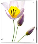 Purple Yellow Tulip 2 Acrylic Print