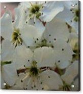 Purpleleaf Sand Cherry Blossoms Acrylic Print
