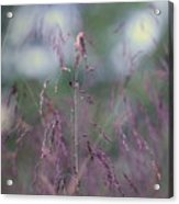 Purpletop, Tridens Flavus, A Native Grass Species, East Coast, United States. Acrylic Print