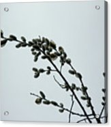 Pussy Willow Catkins Acrylic Print