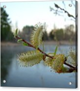 Pussy Willow Flowers Acrylic Print