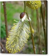 Pussy Willow  Acrylic Print