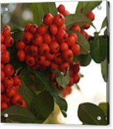 Pyracantha Berries In December Acrylic Print