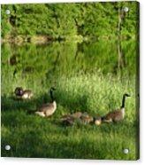 Quack Quack Quack Goes The Geese Acrylic Print