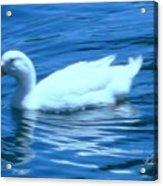 Quack Quack Said The Duck Acrylic Print