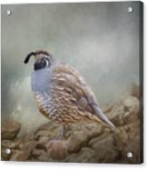 Quail On The Rocks Acrylic Print