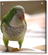 Quaker Parrot Acrylic Print by Mark Platt