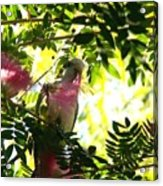 Quaker Parrot With Mimosa Flower Acrylic Print