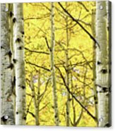 Quaking Aspen Fall Acrylic Print