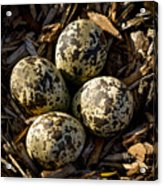 Quartet Of Killdeer Eggs By Jean Noren Acrylic Print