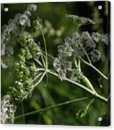 Queen Anne Lace In The Wind Acrylic Print