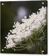Queen Anne's Lace 1 Acrylic Print