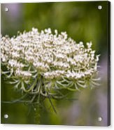 Queen Anne's Lace 2 Acrylic Print