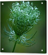 Queen Annes Lace - 365-164 Acrylic Print