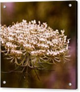 Queen Anne's Lace 4 Acrylic Print