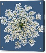 Queen Anne's Lace Flower Acrylic Print