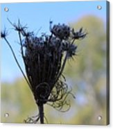 Queen Annes Lace In Autumn Acrylic Print