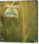 Queen Anne's Lace In Evening Acrylic Print