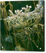 Queen Anne's Lace In Green Horizontal Acrylic Print
