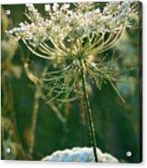 Queen Anne's Lace In Green Vertical Acrylic Print