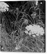 Queen Annes Lace Acrylic Print