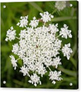 Queen Anne's Lace No 2 Acrylic Print