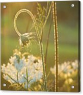 Queen Anne's Lace Sunset Acrylic Print