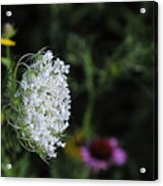 Queen Anns Lace Acrylic Print