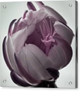 Queen Of The Night In Bloom Acrylic Print