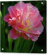 Queensland Tulip Acrylic Print