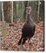 Questioning Wild Turkey Acrylic Print