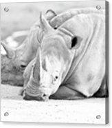 Rhino Quiet Moment Acrylic Print