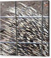 Quills Of An African Porcupine Acrylic Print