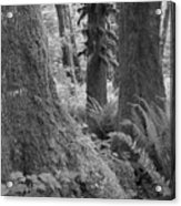 Quinault Rain Forest 3152 Acrylic Print