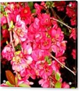 Quince Acrylic Print