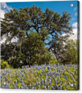 Quintessential Texas Hill Country County Road Bluebonnets And Oak - Llano Acrylic Print