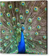 Quite A Display Acrylic Print