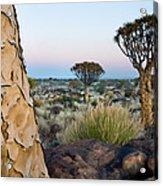 Quiver Tree Aloe Dichotoma, Quiver Tree Acrylic Print