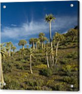 Quiver Tree Forest Acrylic Print