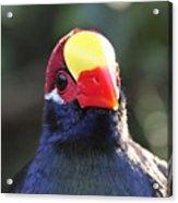 Quizzical Bird Acrylic Print