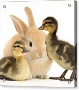 Rabbit And Ducklings Acrylic Print