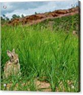 Rabbit In The Grass Acrylic Print