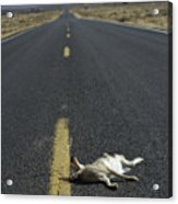 Rabbit Road Kill Acrylic Print