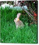 Rabbit Sitting Outdoors. Acrylic Print