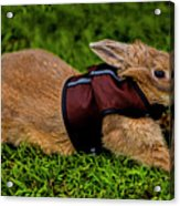 Rabbit With Vest Acrylic Print
