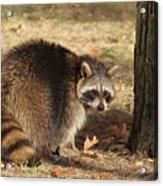 Raccoon #4 Acrylic Print