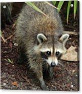 Raccoon Bandit Acrylic Print